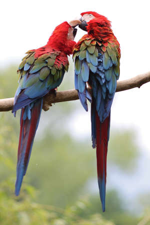 The Scarlet Macaw (Ara macao) is a large, colorful macaw.