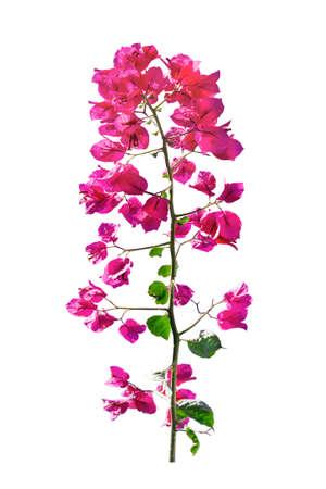 Foto für Front view santa rita flower - Lizenzfreies Bild