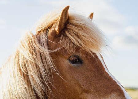 Foto de Close up/detailed view of head of beautiful brown Icelandic pony horse looking straight to the camera. - Imagen libre de derechos