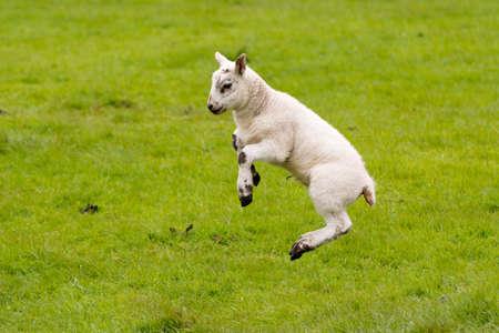 Foto de Leaping Lamb with green background. - Imagen libre de derechos