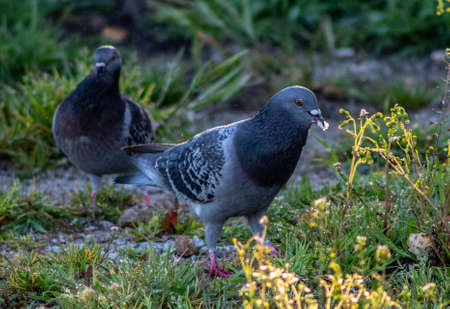 couple of pigeons eating