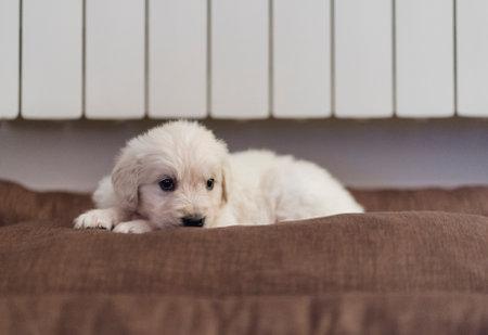 Foto de Beautiful puppy of Golden Retriever breed on the sofa at home - Imagen libre de derechos
