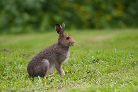Hare eats grass on the meadow
