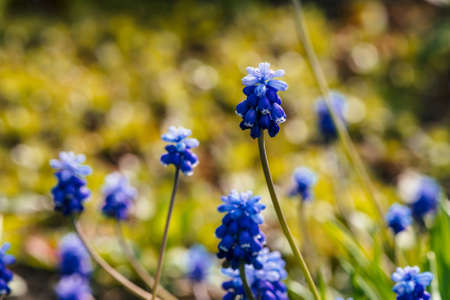 Several beautiful blue bluebells on sunny background of greenery. Picturesque cobalt flowers surrounded by green grasses with copy space. Small cyan muscari close-up. Colorful hyacinth in sunlight.