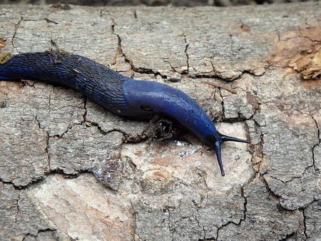 Blue slug in the woods, (Bielzia coerulans),