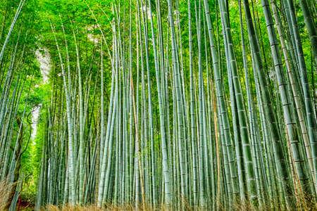 Photo pour Oriental Travel Destinations. Green Sagano Bamboo Forest in Japan. Horizontal Image - image libre de droit