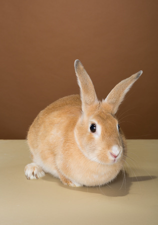 bunny rabbit posing in a studio against a cream and brown wall