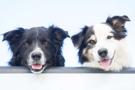 Two happy Australian Shepherd dogs look out at the camera, over the tailgate of a pick-up truck
