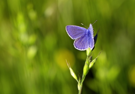 azure of restharrow butterfly