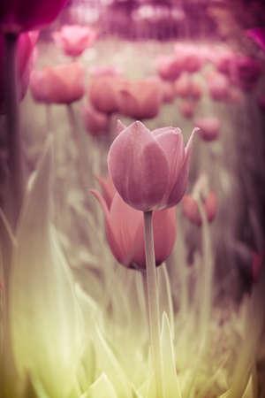 Photo pour Beautiful scarlet flower tulip in vintage style - image libre de droit