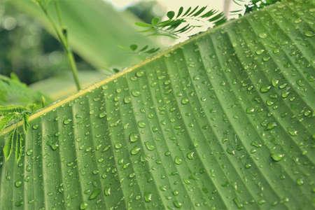 Raindrop on tha banana leaf