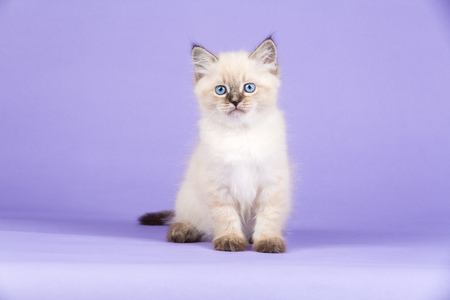 Photo pour Furry little kitten of Siberian breed with bright blue eyes sitting on lilac background. - image libre de droit