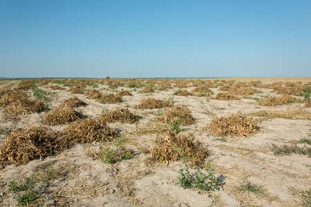 Foto de Destroyed by hot weather bean field, horizon and blue cloudless sky - Imagen libre de derechos