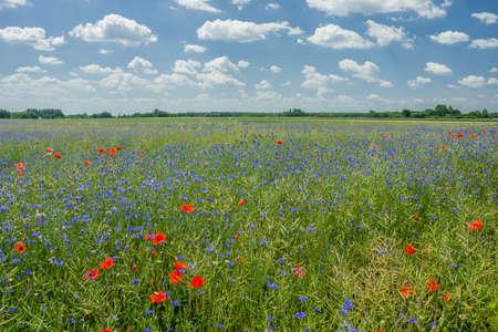 Photo pour Flowers of cornflower in the green rape field, horizon and sky - image libre de droit