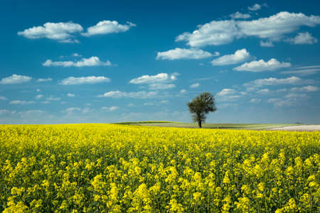 Photo for Single tree in a yellow rape field, white clouds on blue sky - Royalty Free Image