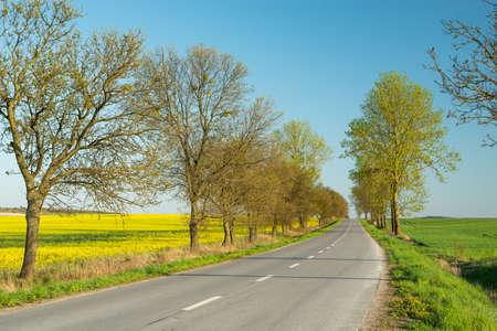 Photo pour Trees on an asphalt road and a rape field, spring view - image libre de droit