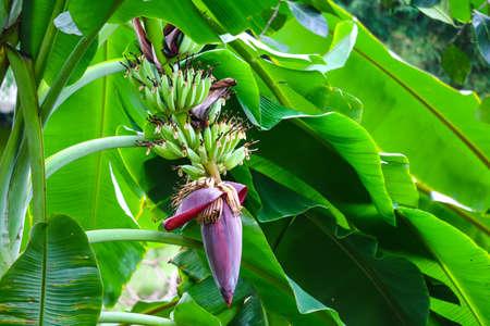 Foto de banana blossom properties to drink milk, nourish blood, help treat gastritis - Imagen libre de derechos