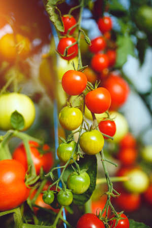 Photo for Natural tomato greenhouse. Beautiful red ripe and green tomatoes grown in a greenhouse - Royalty Free Image