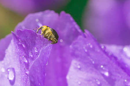 weevil insect closeup on violet background macro irises