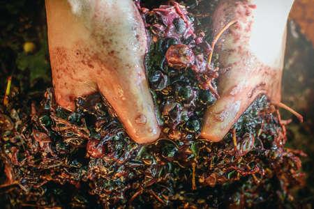 Photo pour grapes wine making at home agriculture farm vineyard - image libre de droit