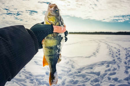 Photo pour winter fishing and winter sports men's activity keeps the fish in the hand perch - image libre de droit