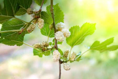 Photo pour mulberry berries on tree branches. organic fruit - image libre de droit