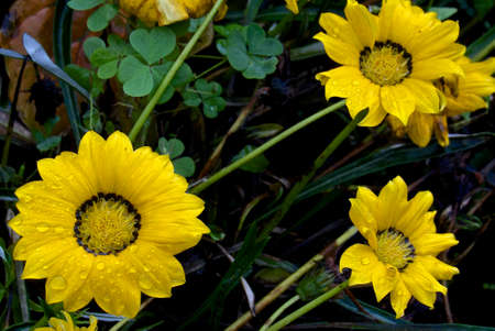 Foto per Yellow flowers - Immagine Royalty Free