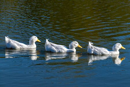 Foto de Swimming white pekin ducks in a row - Imagen libre de derechos