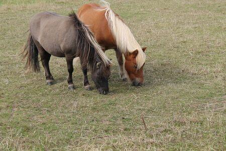 Photo pour Two Shetland Ponies Grazing in a Grass Field Meadow. - image libre de droit