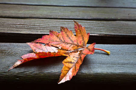 Red, yellow and orange maple fall leaf resting on wet wooden park bench