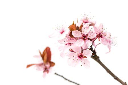 Photo pour Blooming cherry tree, sakura isolated on white background - image libre de droit