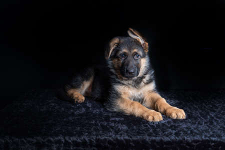small cute german shephard puppy lying on black background and looking straight into the camera
