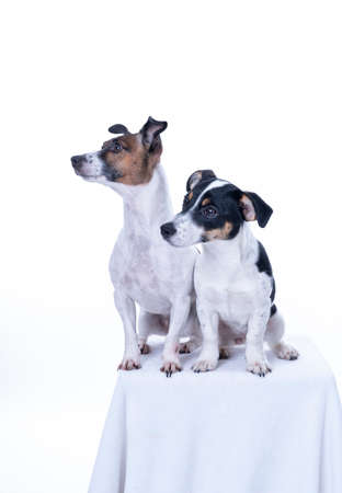 Photo pour Two brown, black and white Jack Russell Terrier posing in a studio, in full length isolated on a white background, copy space. - image libre de droit