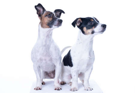Photo pour Two brown, black and white Jack Russell Terrier posing in a studio, the dogs look to the right, isolated on a white background, copy space - image libre de droit