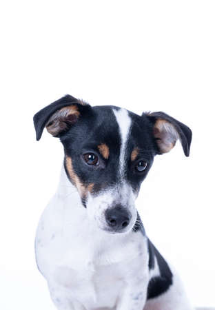 Photo pour Brown, black and white Jack Russell Terrier posing in a studio, the dog looks straight into the camera, headshot, isolated on a white background, copy space - image libre de droit