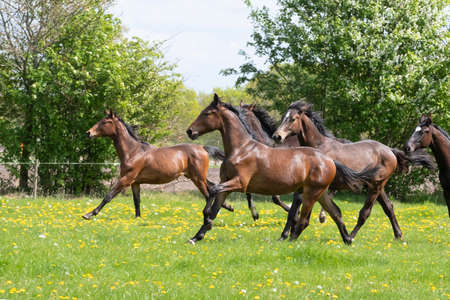 Photo pour A herd of young stallions go to pasture for the first time on a sunny spring day. Blue sky. Galloping dressage and jumping horse stallions in a meadow. Breeding horses. - image libre de droit