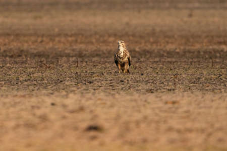 Photo pour Buzzard bird of prey sits in a pasture in brown sand, buteo buteo. In front view. - image libre de droit