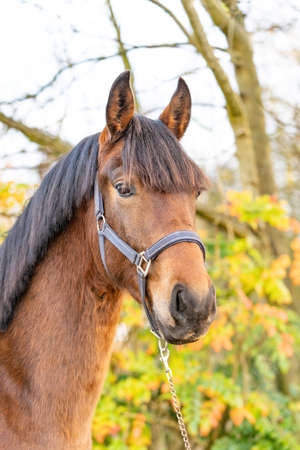 Photo pour A head of a brown KWPN stallion, Dutch Warmblood horse, 2 years old. Outside against a green and yellow natural background - image libre de droit