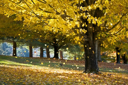 Fall Foliage Yellow Maple Leaves Falling From Tree in Autumn with squirrels and morning sunlight