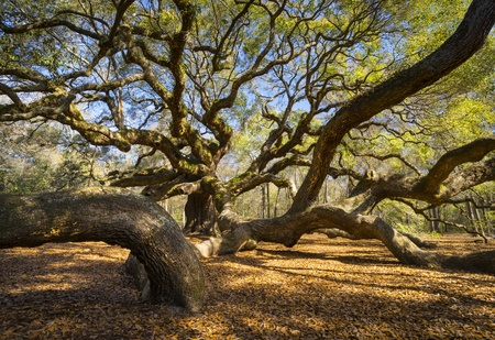 South Carolina Lowcountry Angel Oak Tree Charleston SC Nature Scenic spring landscape photography