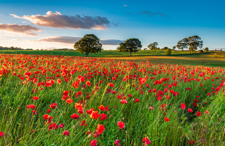 Photo pour Field of Red Poppies, in summer near Corbridge in Northumberland - image libre de droit