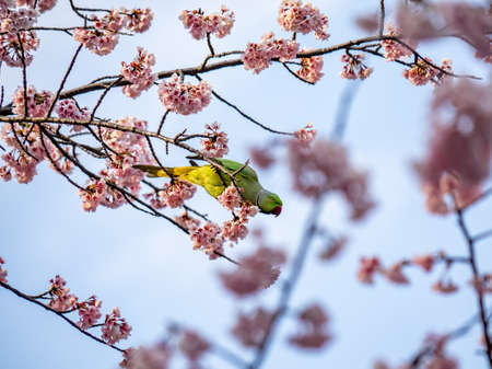 Photo for A rose ringed parakeet eats Japanese cherry blossoms, or sakura, in a cherry tree in Izumi no Mori (Izumi Forest Park). These parakeets are not native to Japan, but since they became popular as pets in the 1960s, numerous of these bright colored birds have been released and taken up residence in and around several major cities. - Royalty Free Image
