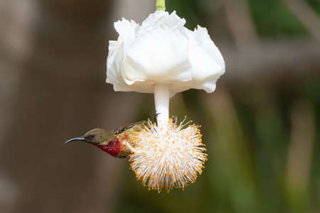 A young Scarlet-Chested Sunbird on a baobab flower