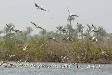 A mixed squadron of Pink-backed and Great White Pelicans  Pelicanus onocrotalus and Pelicanus rufescens  in the mangroves