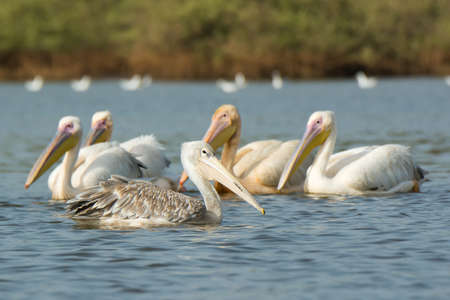 A Pink-backed Pelican  Pelecanus rufescens  floating past a group of Great White Pelicans  Pelecanus onocrotalus