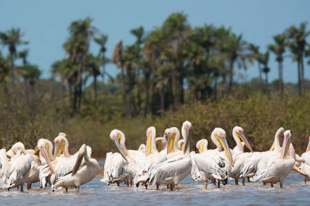 A group Great White Pelicans (Pelecanus onocrotalus) standing in water