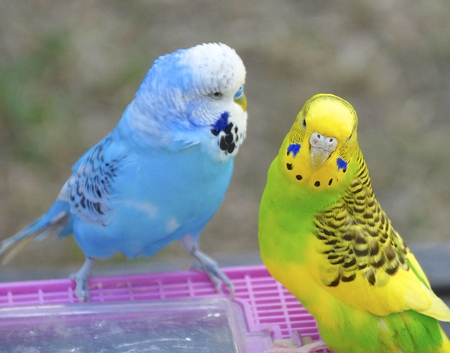 The close view of parakeet