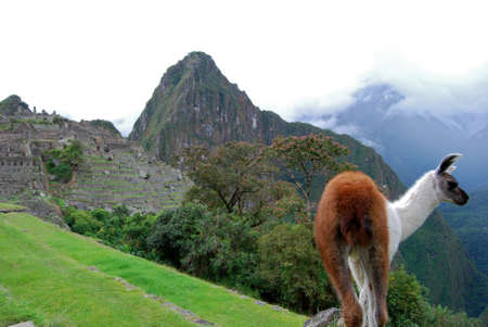 Close-up of a llama at Machu Picchu