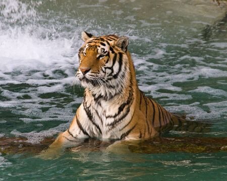Two tigers swimming in a lake in a zoo
