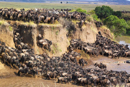 Gnus migration jumping on the shore of a river in Kenya